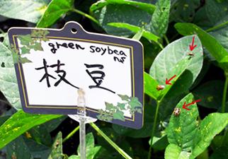枝豆についたカメムシ