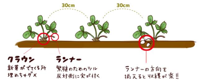 いちご_植え方