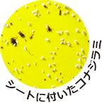 コナジラミ_黄色粘着シート