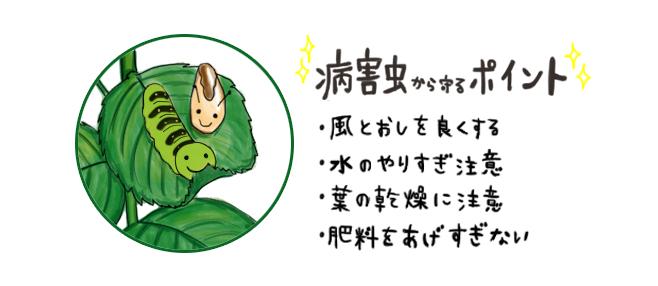 パセリ_害虫と病気