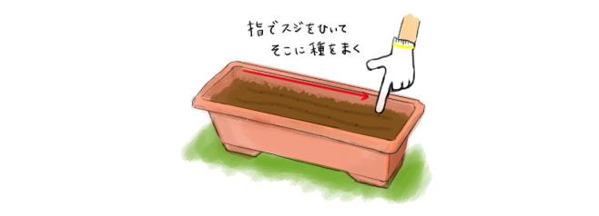 カブ_種まき