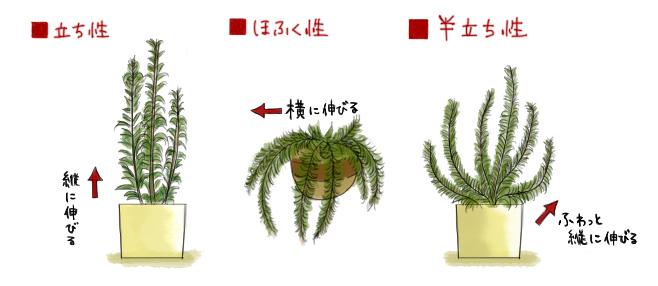 ローズマリーの種類