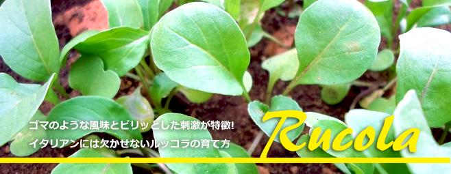 ルッコラ栽培